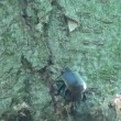Stock Video: Ground Beetle pricked up her ears and looks forward insect