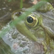Stock Video: Frog mating period reptiles water animals