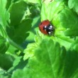 Wideo stockowe: Ladybug crawling on leaf of grass insect animals