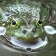 Wideo stockowe: Frog mating period reptiles water animals