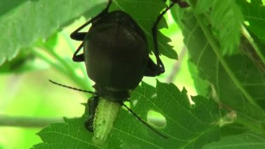 Ground Beetle pricked up her ears and looks forward insect — Stock Video