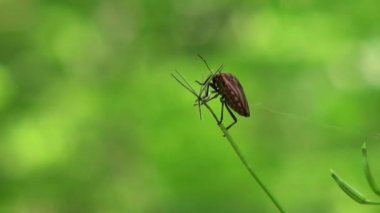 Bug red on line defenders blade of grass insect — Wideo stockowe