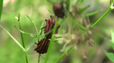 Bug red on line defenders blade of grass insect — Stock Video