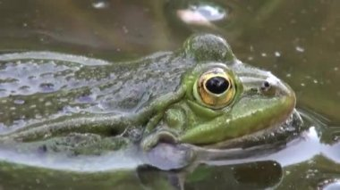 Frog mating period reptiles water animals — Stock Video
