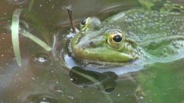 Frog mating period reptiles water animals — Vidéo