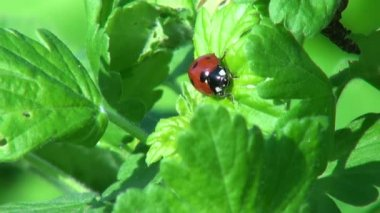 Ladybug crawling on a leaf of grass insect animals — Stock Video