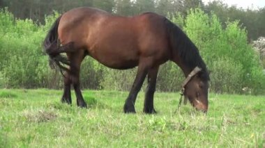 Horse grazes in meadow before forest animals — Stock Video