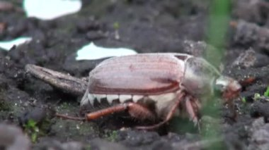 May beetle eats the leaves chafer animals — Stock Video