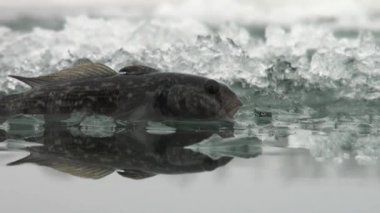 Fish perch on ice of river in winter — Stockvideo