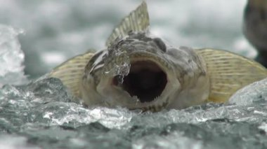 Ryba okoun na ledu z řeky v zimě — Stock video
