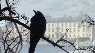 Corvo negro sentado no galho de outono de madeira seco — Vídeo stock