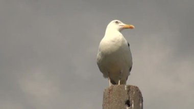 Seagull stands at pole looks around and takes flight — Stock Video