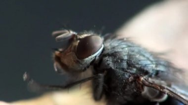 Fly housefly insect macro animals — Stock Video