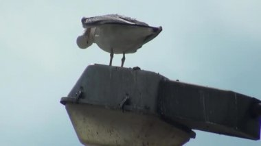 Seagull standing on electric pole bird — Stock Video
