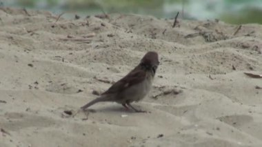 Sparrow jumping on sand bird animals — Stock Video