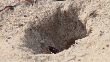 Wasp creating shelter in sand beach  insect bug fly — Stock Video