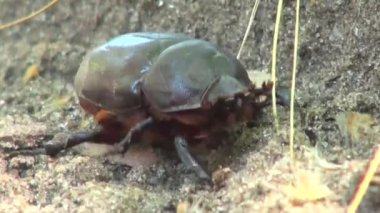 Close up of beetle crawling sunny day insect bug — Stock Video