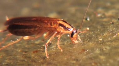 Cockroach eats food with gusto insect animals — Stock Video