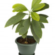 Avocado Plant — Stock Photo
