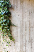 Green ivy on concrete wall background — Stock fotografie