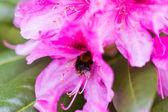 Abelhas em flores roxas — Fotografia Stock