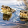 Stock Photo: Male toads in water, Bufo bufo