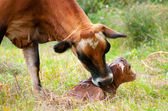 Newborn Jersey calf — Stock Photo