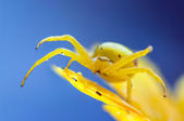Yellow crab spider on flower after rain — Stock Photo