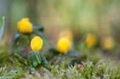 Buttercup flowers (winter aconite) — Stock fotografie