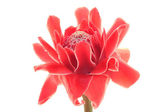 Torch Ginger — Stock Photo
