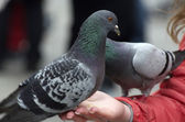 Feeding Pigeon in Venice — Foto Stock