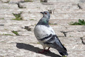 Mediterranean Pigeon — Stock Photo