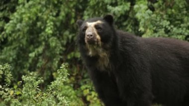 Andean bear — Stock Video