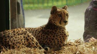 Cheetah — Stockvideo