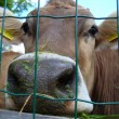 Stock Photo: Cow's Snout beyond Mesh
