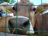Cow's Snout beyond a Mesh — Stock Photo
