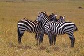 Resting Zebra - Safari Kenya — Photo
