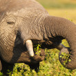Постер, плакат: Elephant Eating Safari Kenya