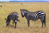 Zebra - Safari Kenya — Stock Photo