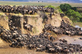 Gnu Crossing a River - Safari Kenya — Stock Photo