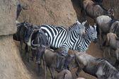 Zebra Diversity - Safari Kenya — Foto de Stock