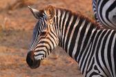 Zebra Face - Safari Kenya — Stock Photo