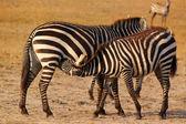 Zebra Breastfeeding - Safari Kenya — Stock Photo