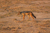 Black-backed Jackal - Safary Kenya — Stock Photo