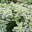 Ornamental shrub — Stock Photo #38663793
