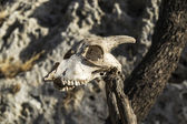 Roe head skull srunged on a stick — Stock Photo
