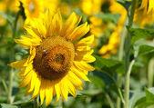 Пчела собирает пыльцу на подсолнечнике — Стоковое фото