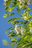 Acacia blossoms  — Stock Photo