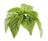 Fresh basil on white background — Stock Photo