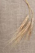 Orelha e o grão de trigo — Fotografia Stock